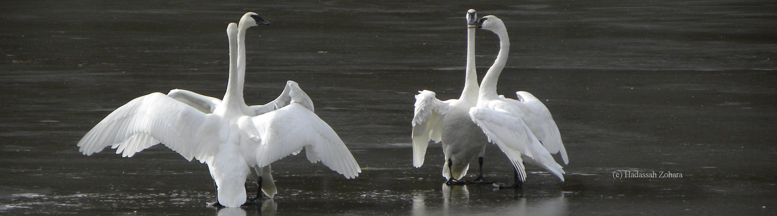 Trumpeter Swans communicate through voice and wing display