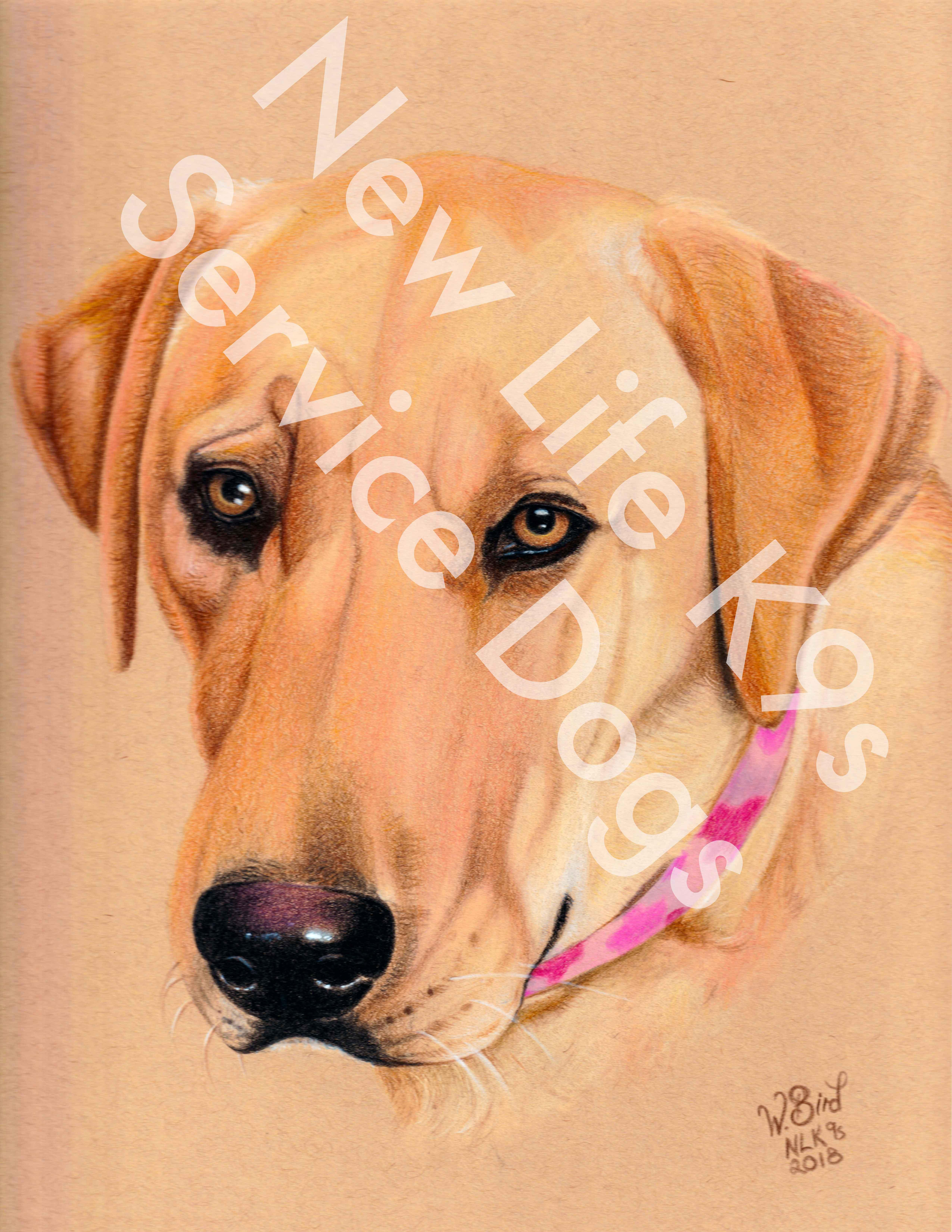 Josie the Labrador