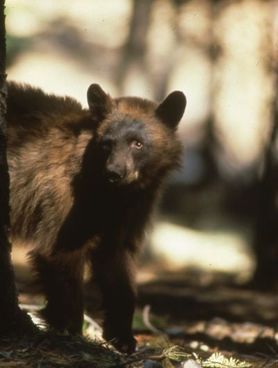A black bear cub perched on the branch of a tree