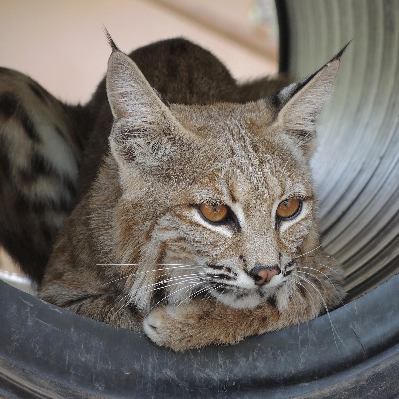 Catalina Bobcat