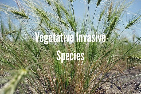 Vegetative Invasive Species