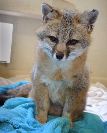 Gray fox sanctuary Southwest Wildlife