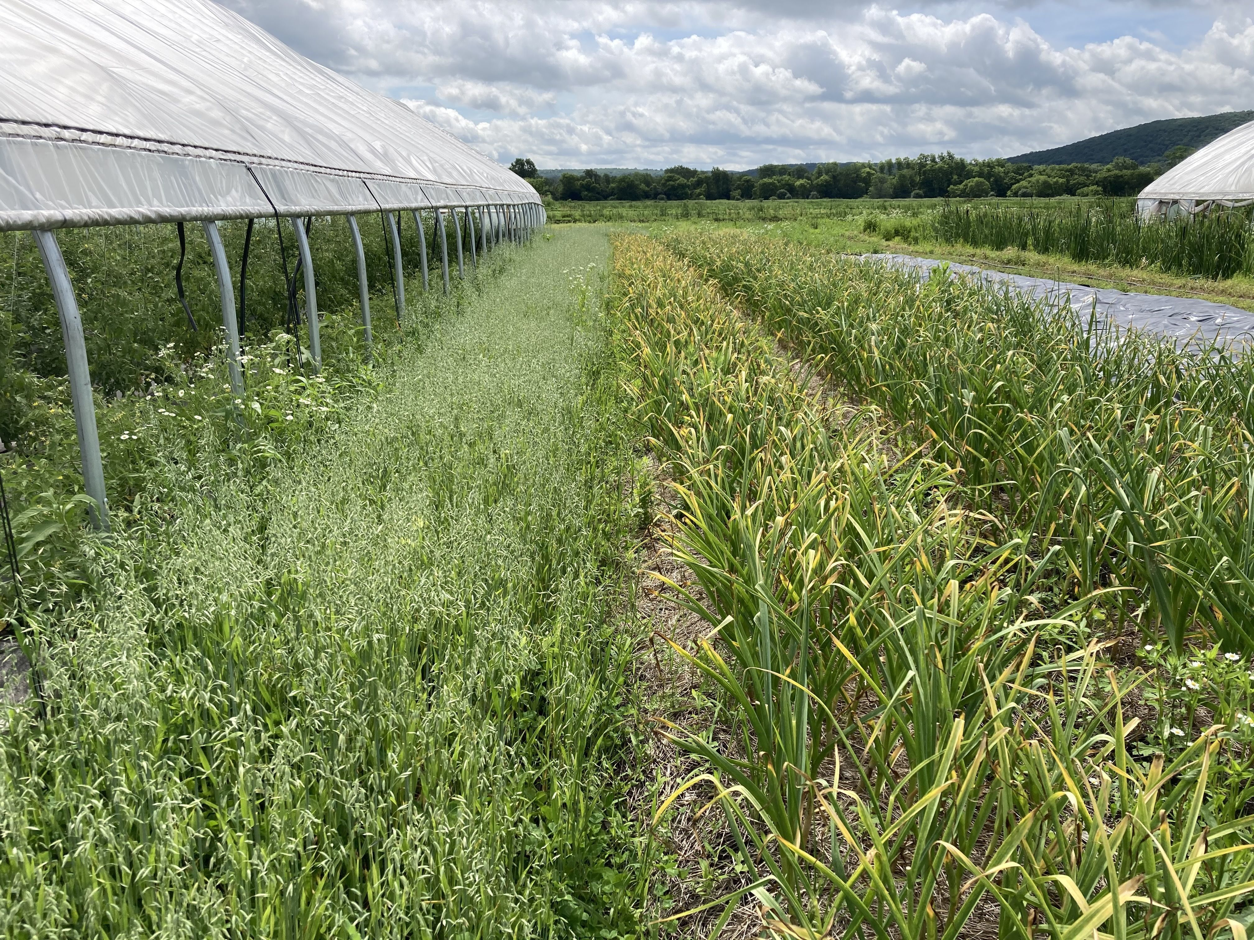 Rise and Root Farm, oats along the greenhouse periphery, for erosion control and harvesting for medicinals