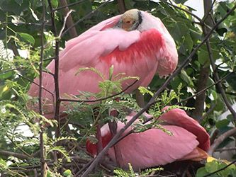 Nesting Roseate Spoonbills at the Rookery