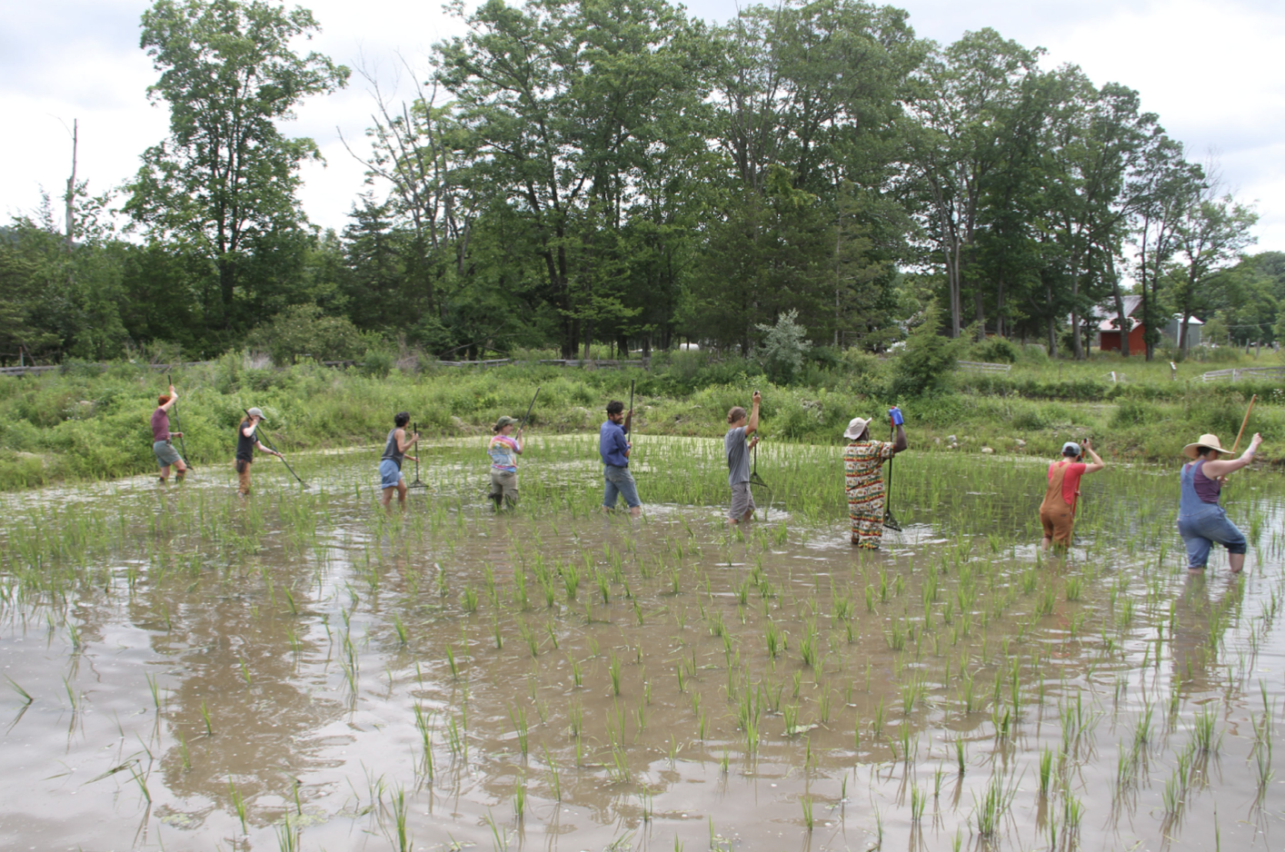 Rice Growing in the Hudson Valley!