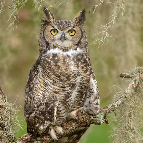 Listen for Great Horned Owls