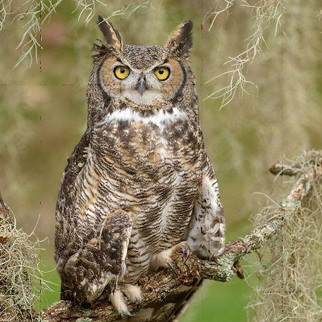 Listen for Great Horned Owls