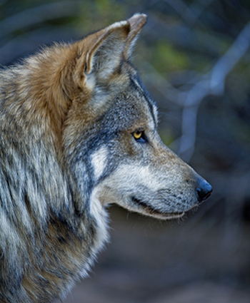 M942 Himuti Mexican gray wolf by Robin Silver Southwest Wildlife