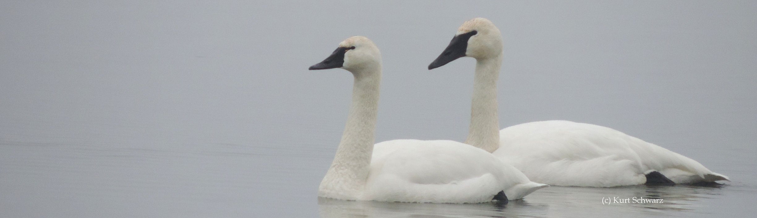 Head and bill shapes can help identify swan species including Trumpeter Swans, Tundra Swans and Mute Swans