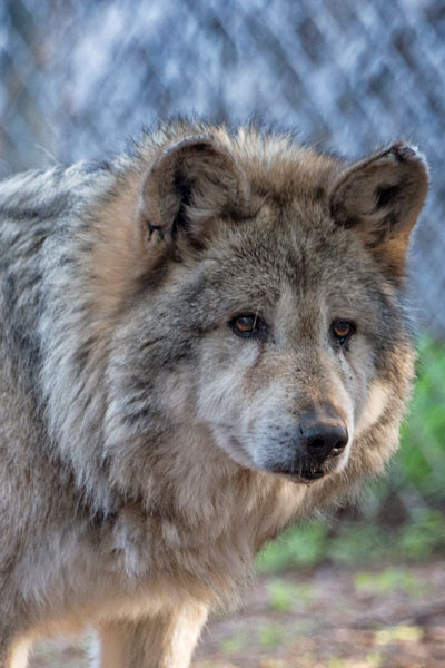 F522 Manilita Mexican Gray Wolf photo by WJ Wheaton