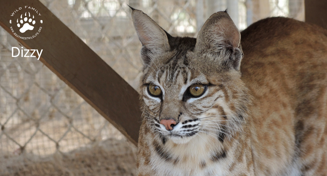 Dizzy the bobcat for Wild Family
