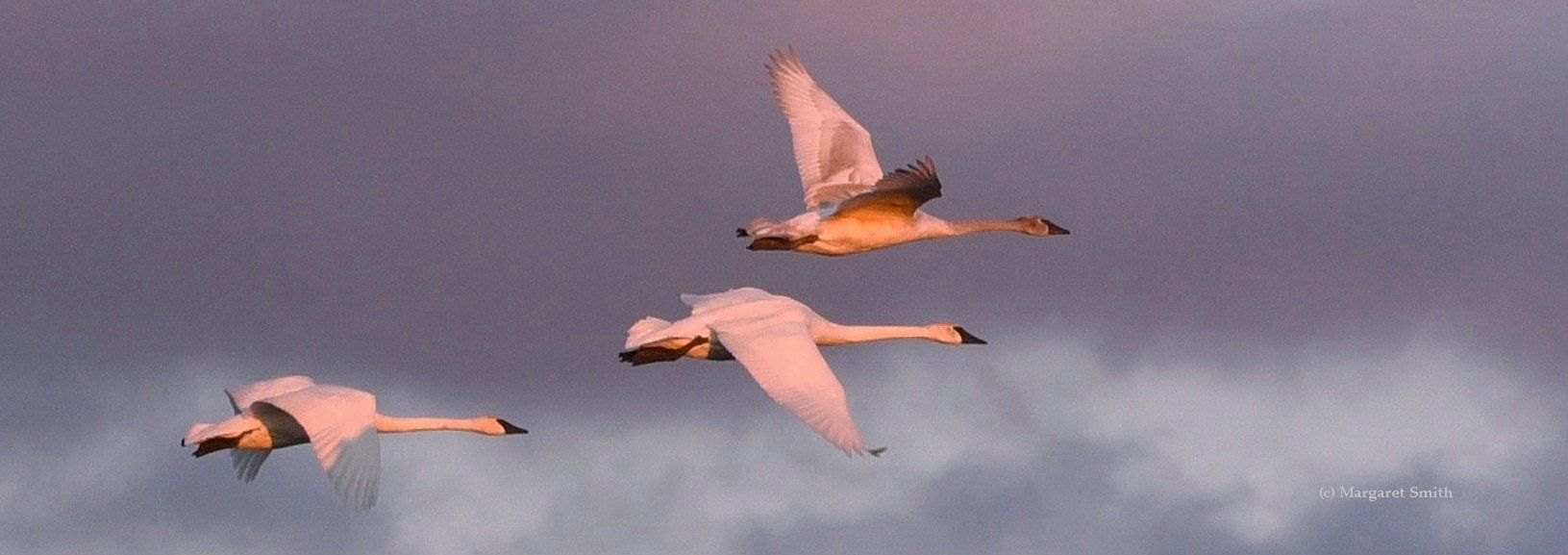 The mission of The Trumpeter Swan Society is to assure the vitality and welfare of wild Trumpeter Swans
