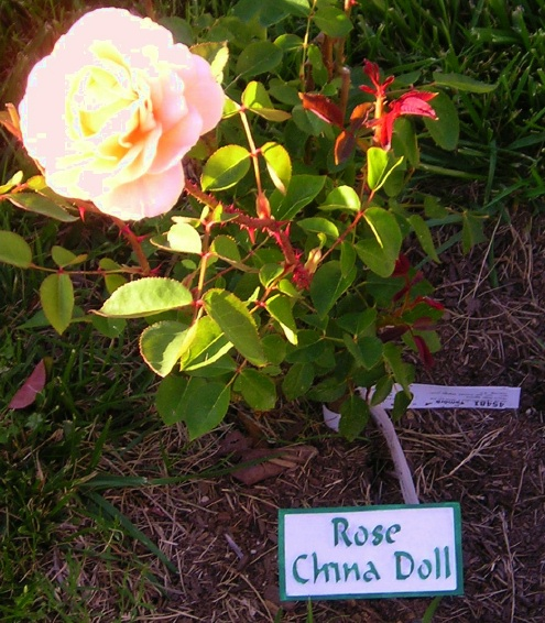 GA16670 - Ground Level Plant Name and Location Marker (Here for Rose)