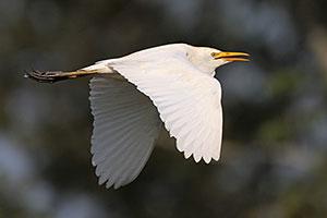 Cattle Egret (nonbreeding plumage)