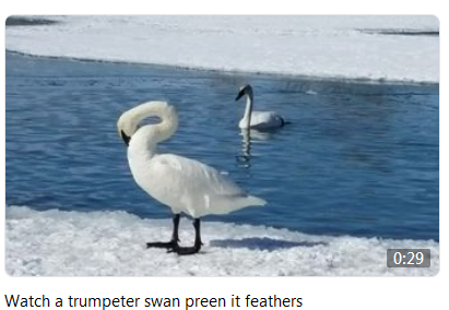 Watch a trumpeter swan preen it feathers