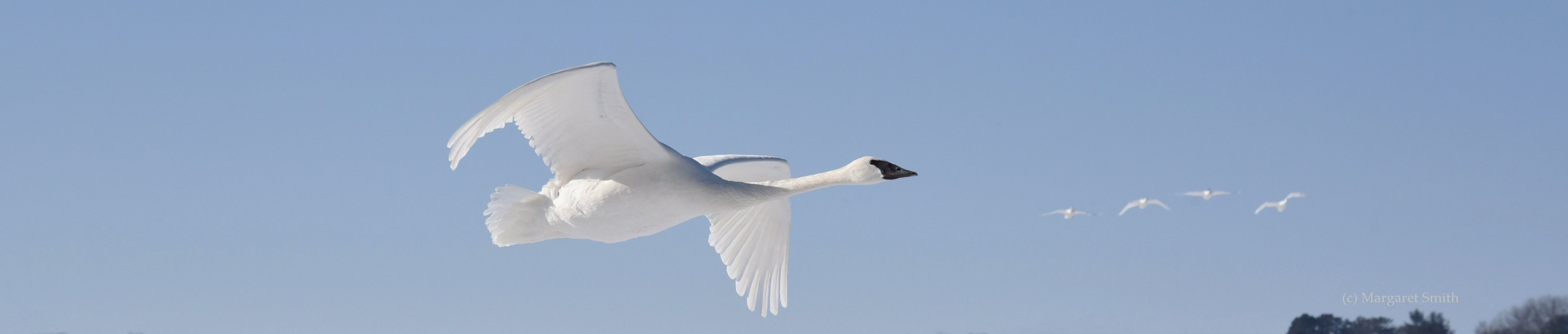 Check out The Trumpeter Swan Society's range maps for swans across North America