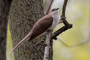 Beak of the Week: Black-billed Cuckoo