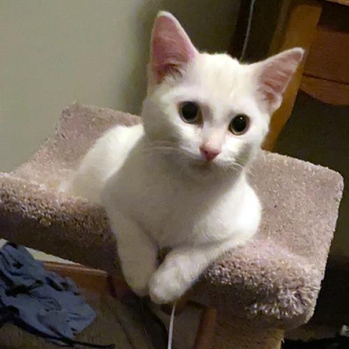 LOST: CAT (Milo)