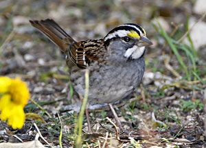 White-throated Sparrow (white morph)