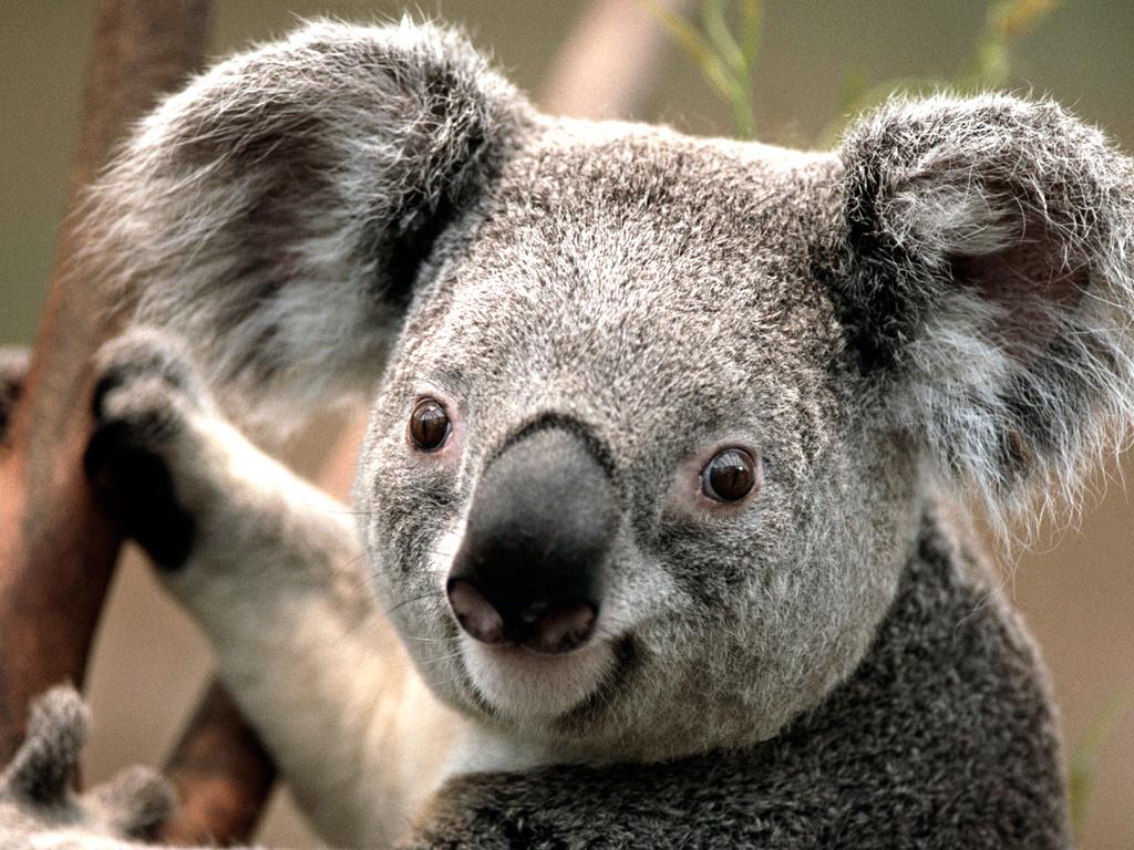 Australian Koala Foundation
