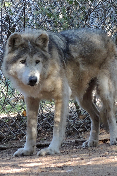 M804 Sabio Mexican Gray Wolf Southwest Wildlife Scottsdale Arizona