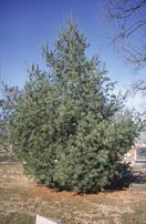 """White Pine - Pack of 5 Seedlings (12""""-18"""")"""