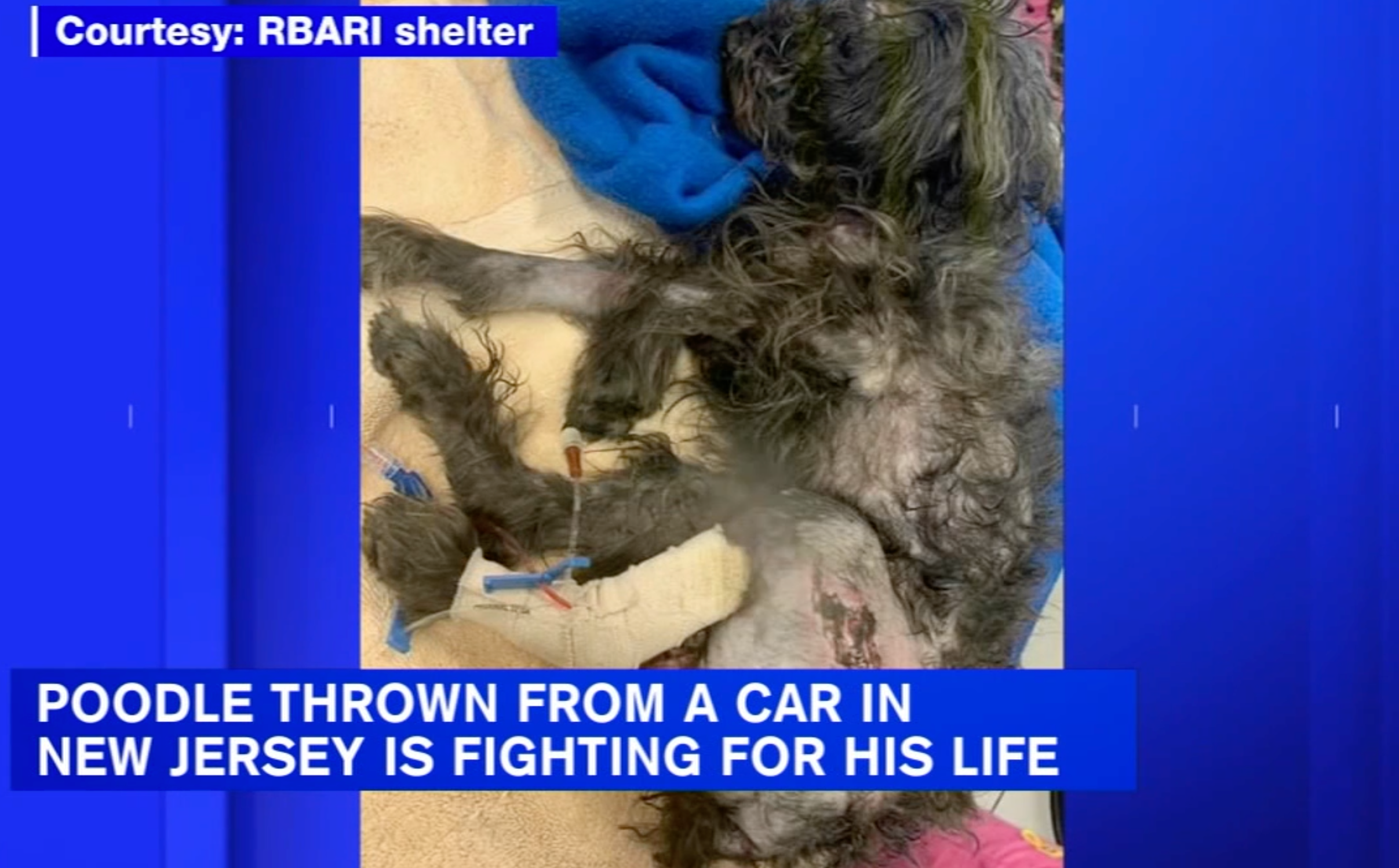 Dog named Bear fighting for his life after being thrown out of car (ABC 7 NY)