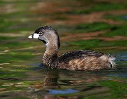Pied-billed Grebe (adult)