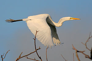 Great Egret (nonbreeding plumage)