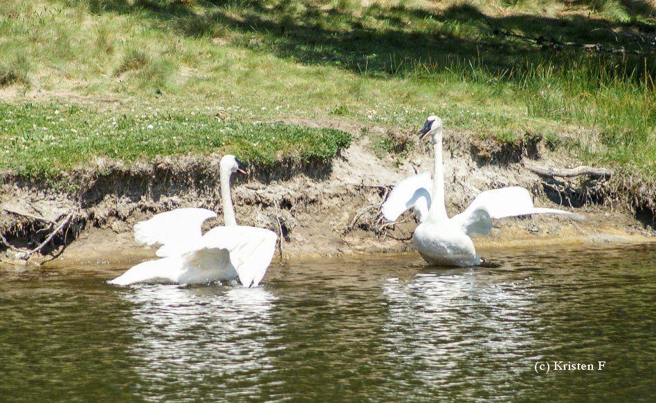 Sunriver swan Gracie meets new mate — finally