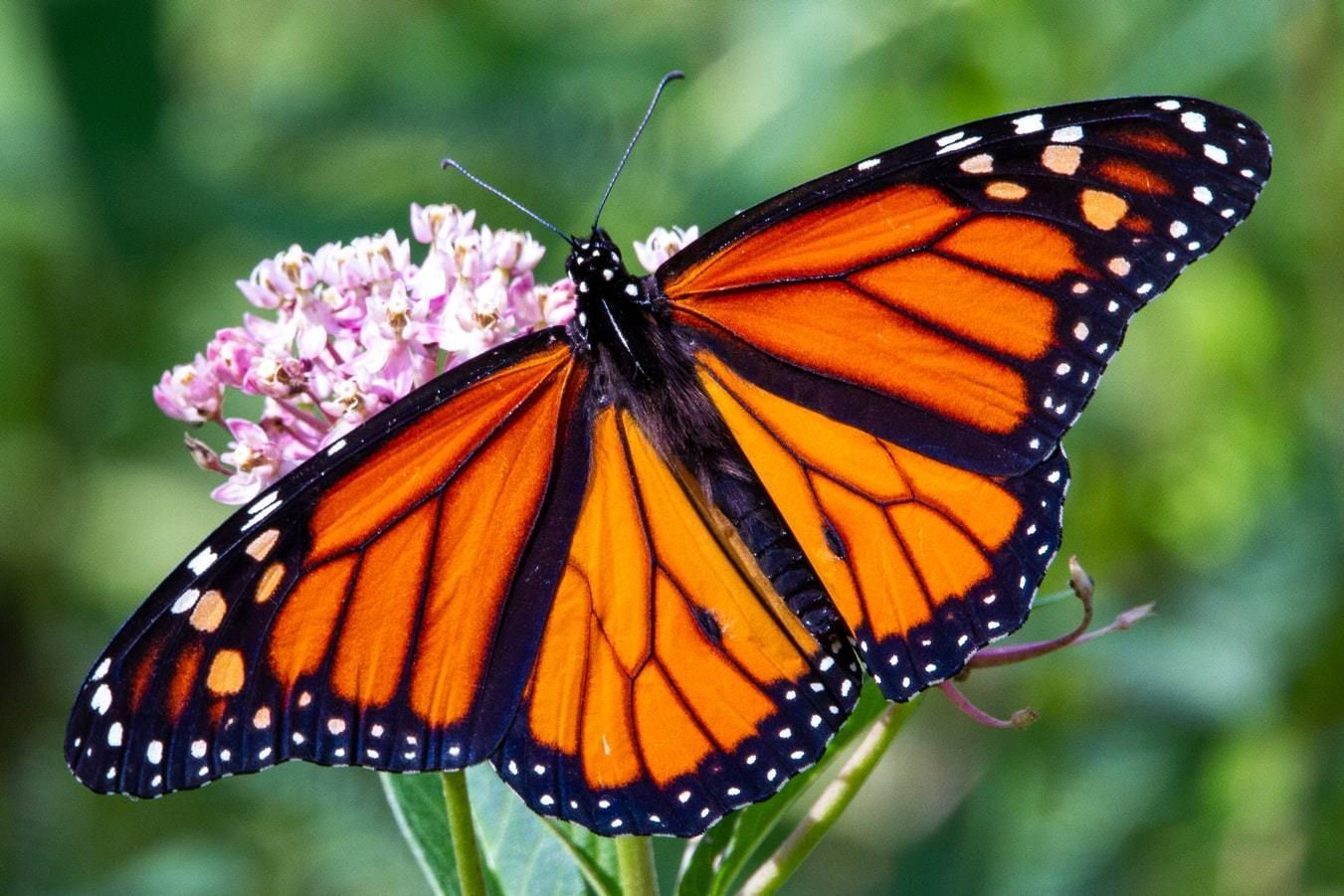 The monarch butterfly is dependent on finding milkweed plants throughout its migration to survive.
