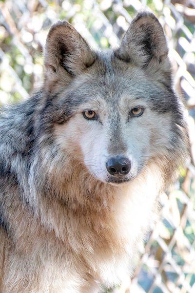 M1019 Wild Bill Mexican Gray Wolf Southwest Wildlife Scottsdale Arizona Photo by Carol A. Urban