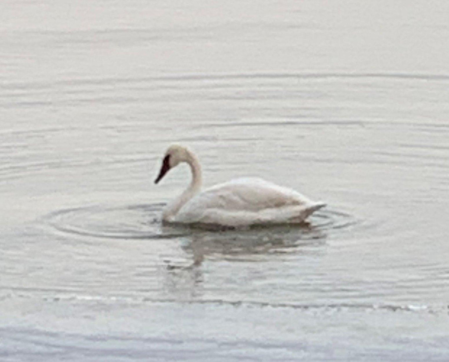 My Swan Story - Ann N.