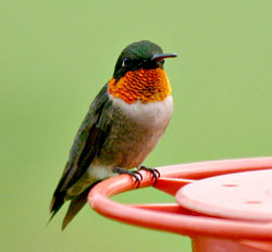 Ramp Up Your Hummingbird Feeders