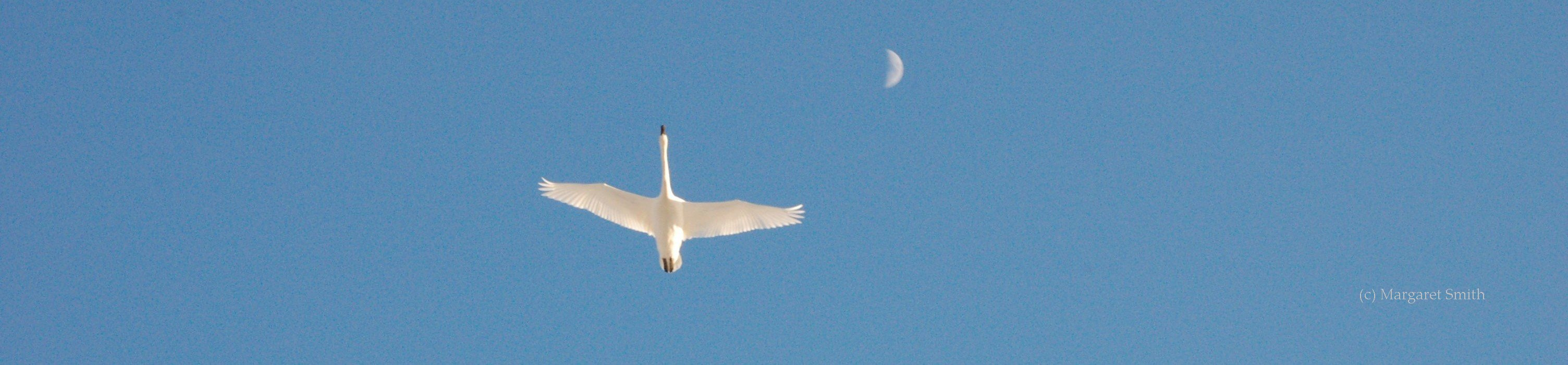 Get the answers to your Frequently Asked Swan Questions from The Trumpeter Swan Society