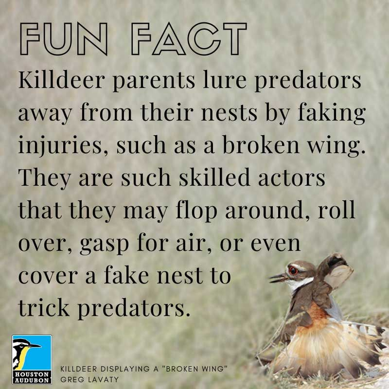 Killdeer fun fact