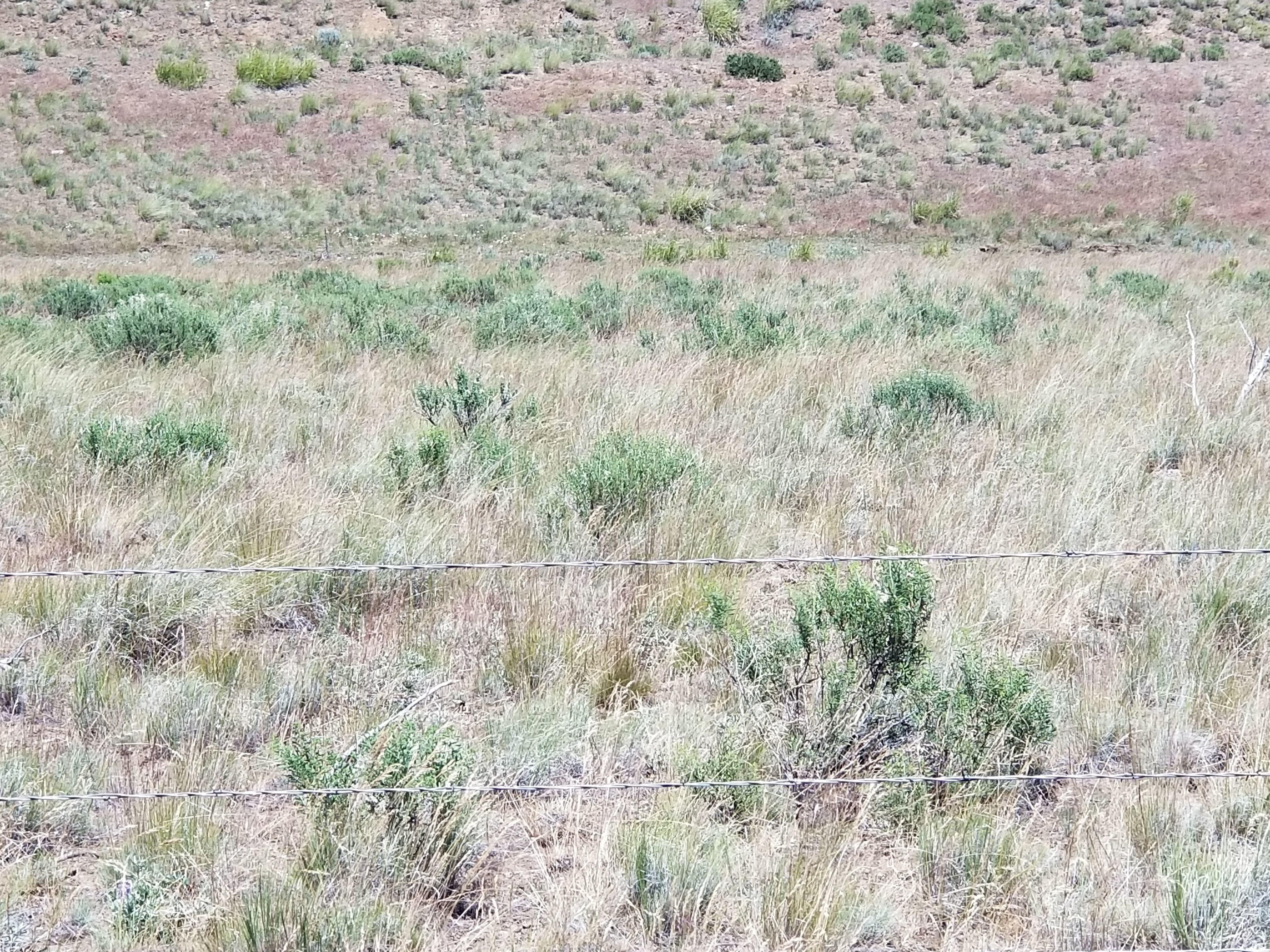 Healthy Native Bluebunch Wheatgrass