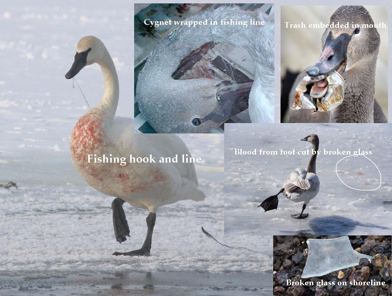 Swan injuries