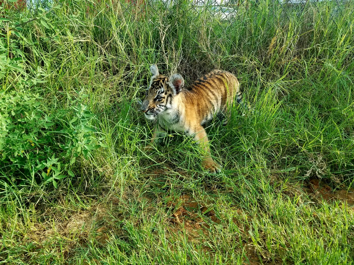 Zara the tiger cub