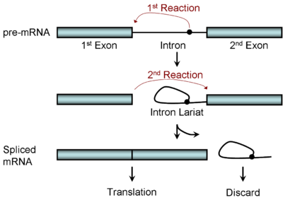 A picture of RNA splicing: a stepwise editing process.