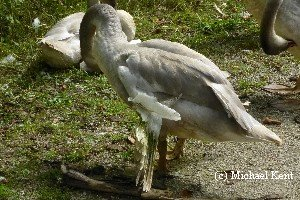 Should I feed wild Trumpeter Swans?