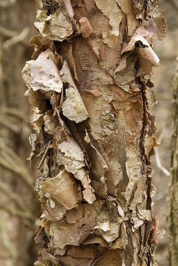 Winter Tree ID: Learn Your Buds and Bark