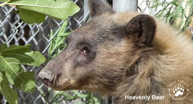 Heavenly bear for Wild Family
