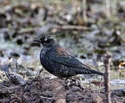 Rusty Blackbird (adult male - winter plumage)
