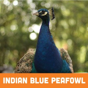 Indian Blue Peafowl