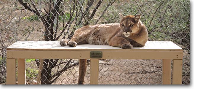 Pecos Mountain Lion Southwest Wildlife Scottsdale Arizona