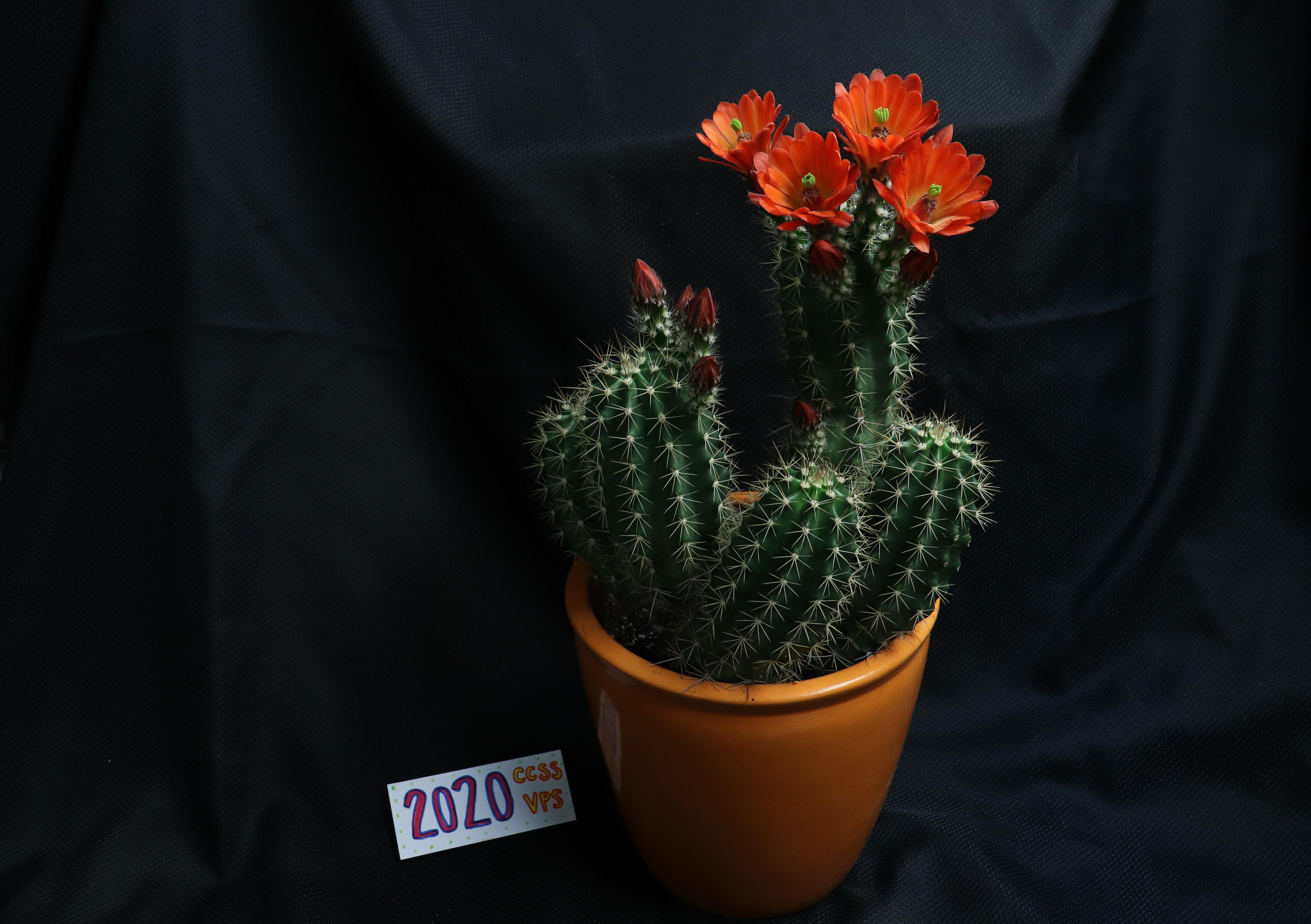 Echinoceresus coccineus