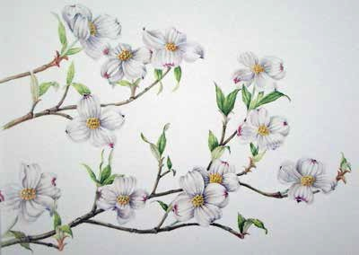 Dogwood Blossom Painting