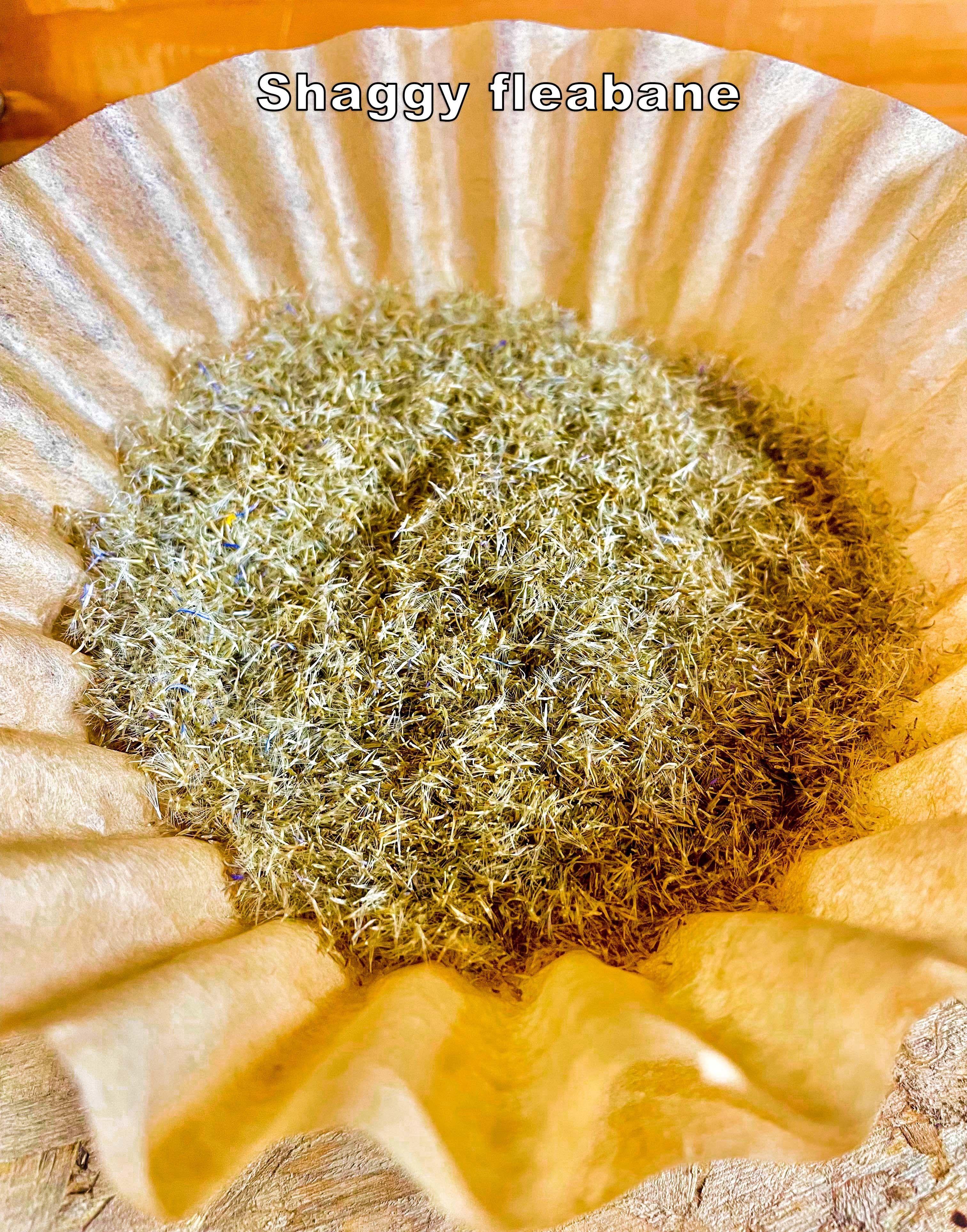 Shaggy fleabane seeds