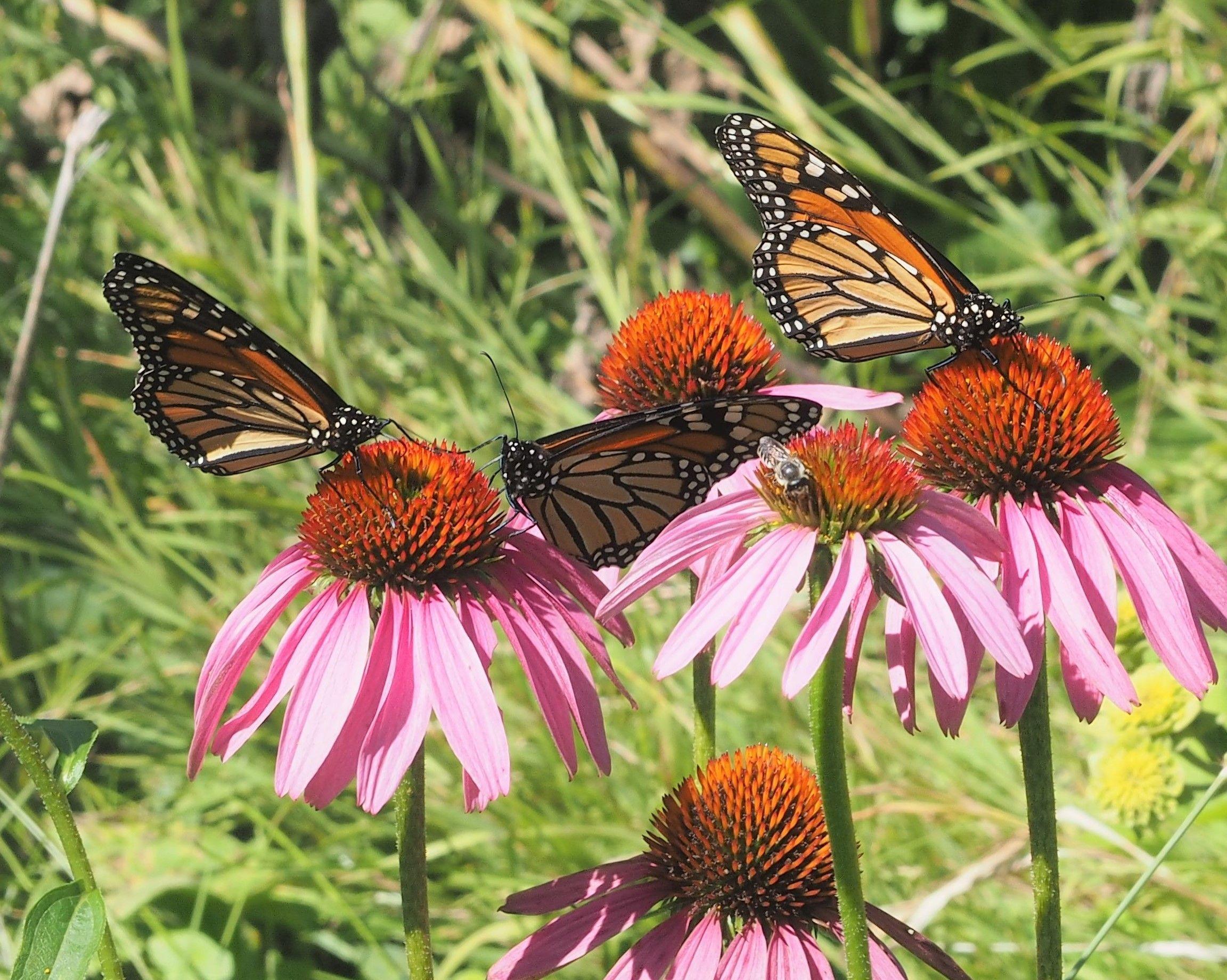 Eastern Nebraska Butterfly Guide